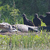 Black Vultures with an Alligator