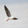 Gray-hooded Gull in Flight