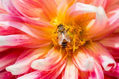Honeybee Dahlia