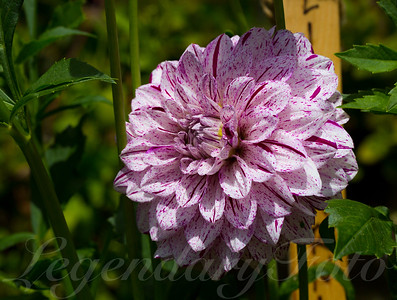 Spotted Dahlia