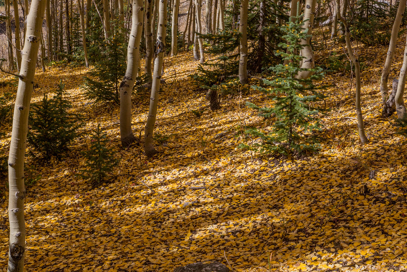 Aspen Leaf Carpeted Grove near Winfield Colorado