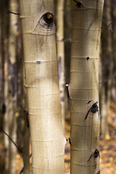 Aspen Trunks in Winfield Colorado