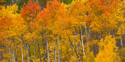 Aspen Color near Maroon Lake