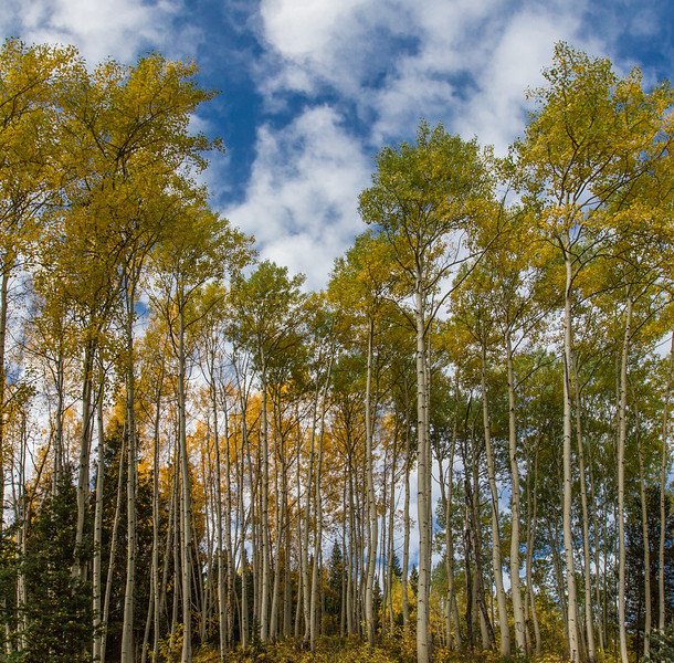 Aspen Along the Quarry Road - Marble Colorado