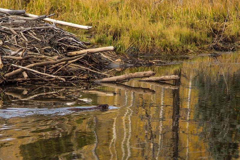 Beaver near Winfield Colorado