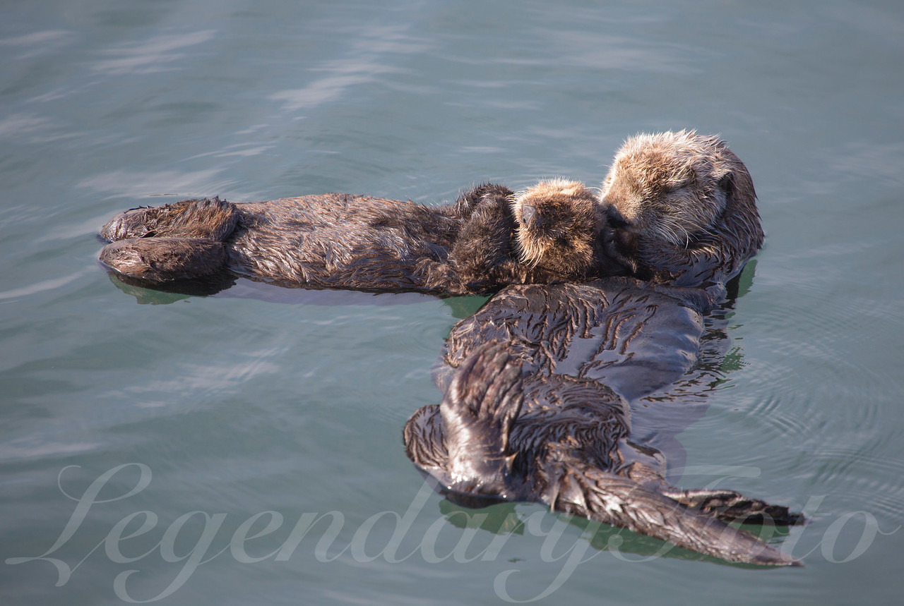 Sea Otter and Pup