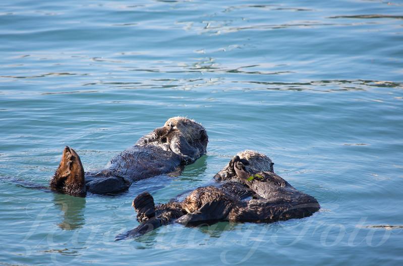Sea Otter's