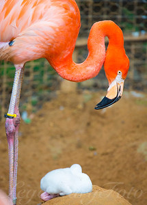 Flamingo and Baby