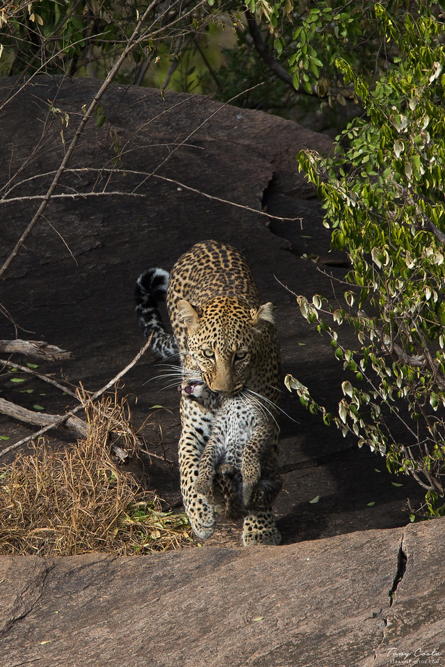 Leopard carrying her cub