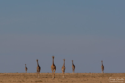 Giraffes on the Masai Mara
