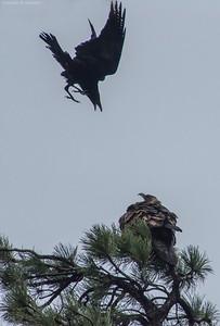 Raven and Golden Eagle