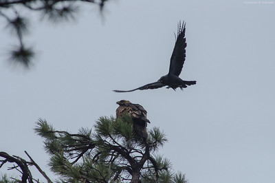Raven and Golden Eagle
