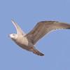 Herring Gull (2nd winter)