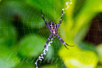 Argiope Appensa Spider