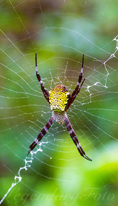Picture of the Hawaiian green spider (Argiope appensa)