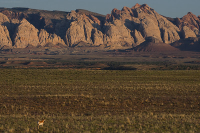 Antelope and the San Rafael Reef