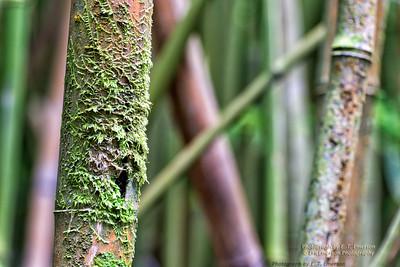 Haleakala Bamboo Forest #3