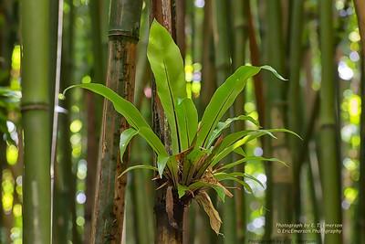 Haleakala Bamboo Forest #6
