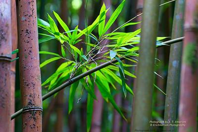 Haleakala Bamboo Forest #2