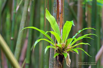 Haleakala Bamboo Forest #4