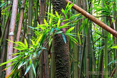Haleakala Bamboo Forest #1