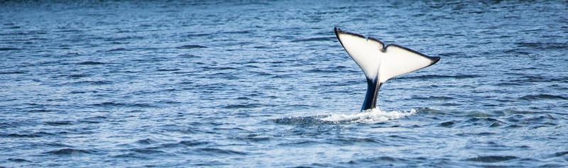 Orca Tail Fluke