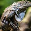 Honduran Spiny Tailed Iguana