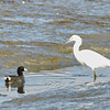 Snowy Egret and American Coot Make Eye Contact