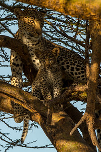 Leopard and cub in a tree
