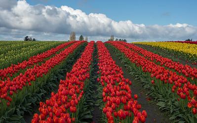 2016 Skagit Valley Tulips
