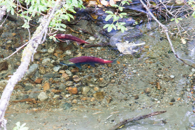 Our first look at salmon swimming upstream