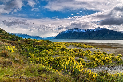 Lake Hawea Lupine