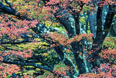 Lenga Beech Fall Color