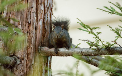 Black Squirrel