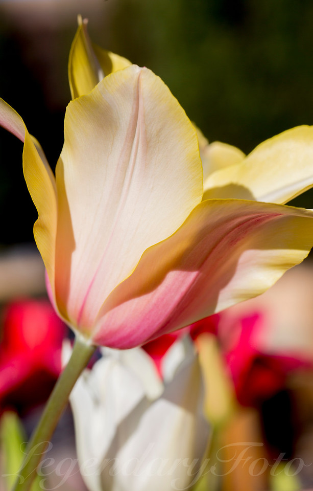 Yellow and Pink Tulip
