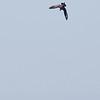 Parasitic Jaeger Diving on Elegant Tern