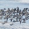 Western Sandpipers and Sanderlings in Flight
