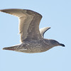 Juvenile Western Gull