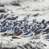 Western Sandpipers (mostly)