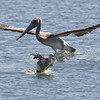 Red-throated Loon Gets Out of the Way of a Brown Pelican