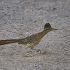 Greater Roadrunner with Nesting Material
