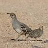 Gambel's Quail Mom with Chick