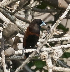 Chestnut Munia (Lonchura atricapilla)