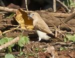 African Silverbill (Euodice cantans)