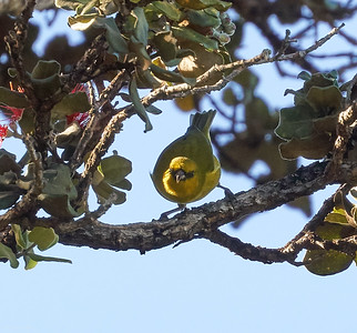 Hawaii Amakihi (Chlorodrepanis virens)