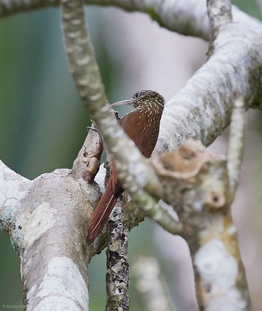Cocoa Woodcreeper
