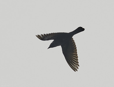 Giant Cowbird