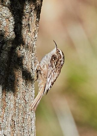 Short-toed Treecreeper (Certhia brachydactyla)