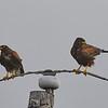Two Harris's Hawks
