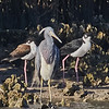 Tricolored Heron with Black-necked Stilts
